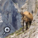 photo : Chamois au 400mm